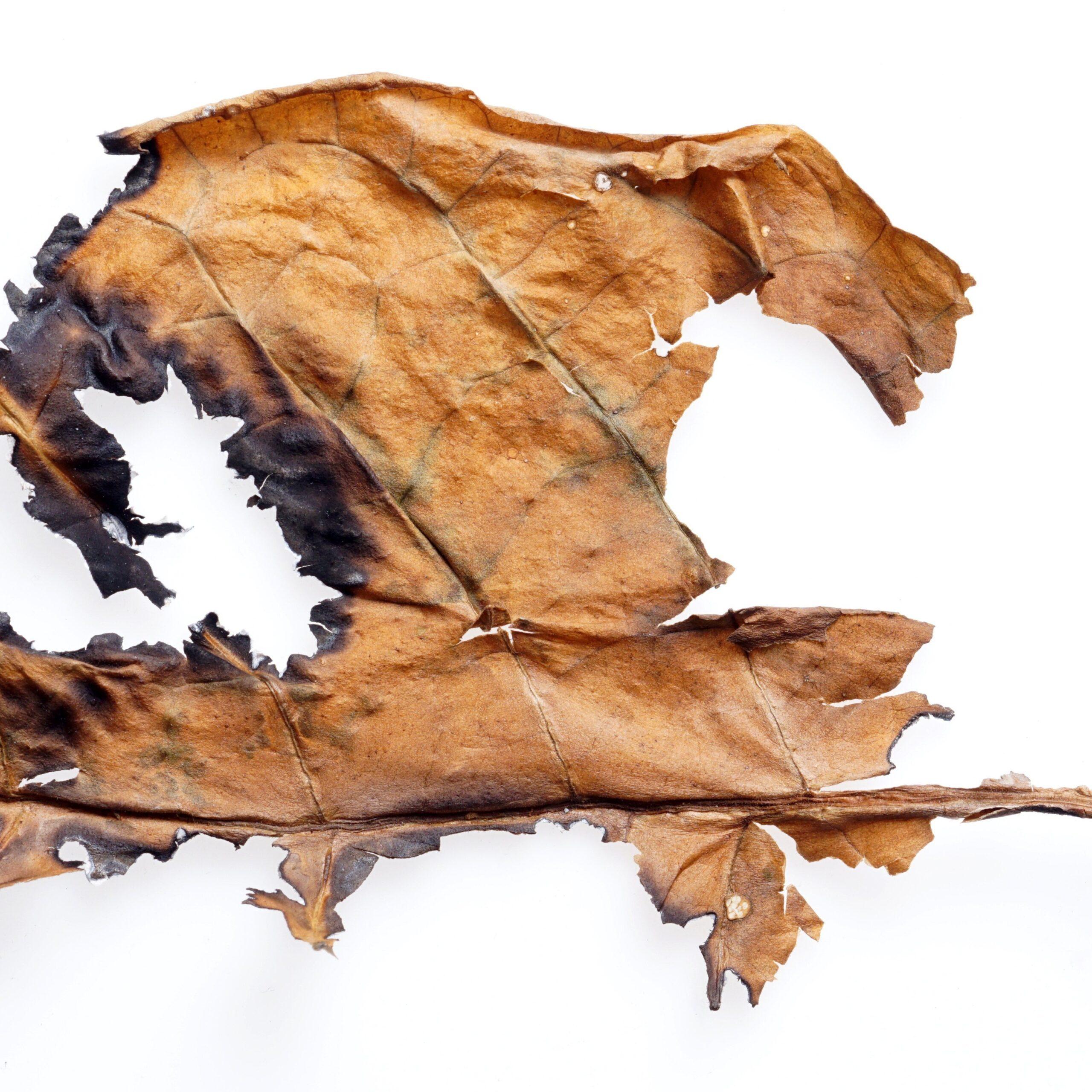 FA 7 Leaves-Vape Distribution Australia